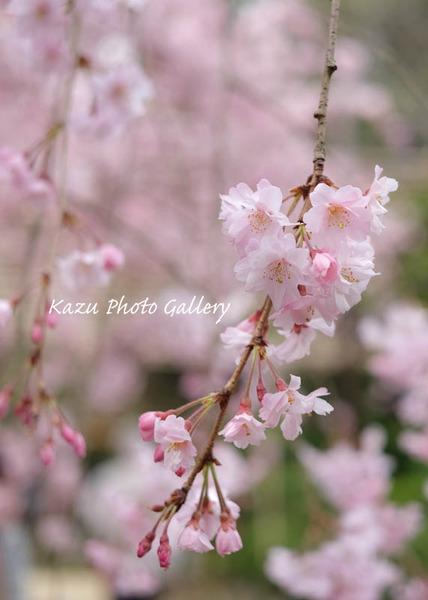 平安神宮でお花見♪