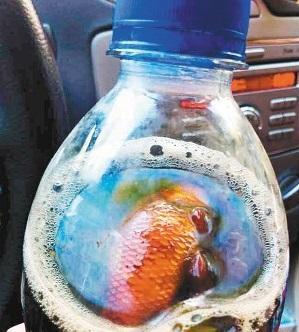 ペプシの中に金魚の腐乱死骸、おわびはペプシ2ケース