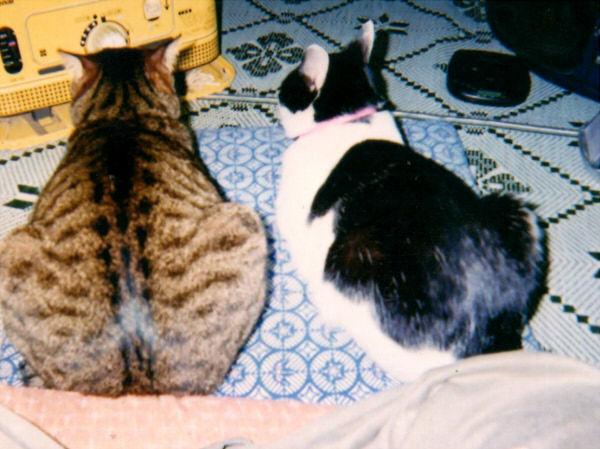 ストーブの前に溜まる猫の図
