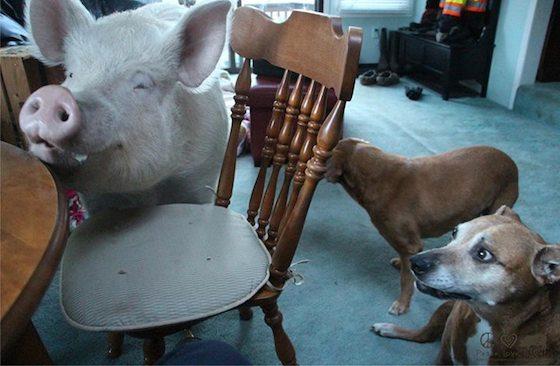 ペットの豚 AA(アスキーアート)