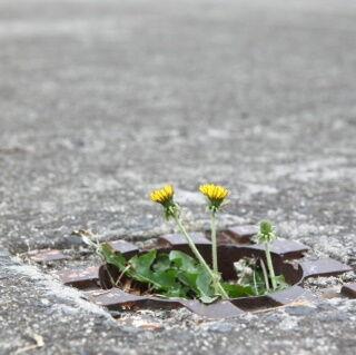 【SS】( ^ω^)アスファルトに咲く花のようです