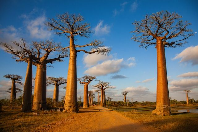 バオバブの並木道(マダガスカル)