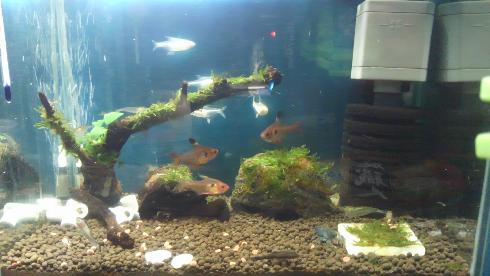 熱帯魚 レモンテトラ