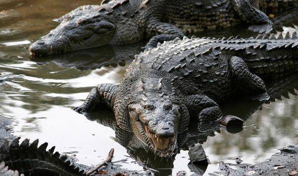 5374-03-crocodile-ib