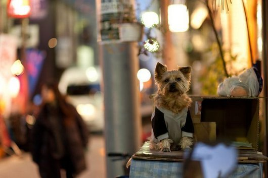 crazy-fashion-of-dogs-in-japan21