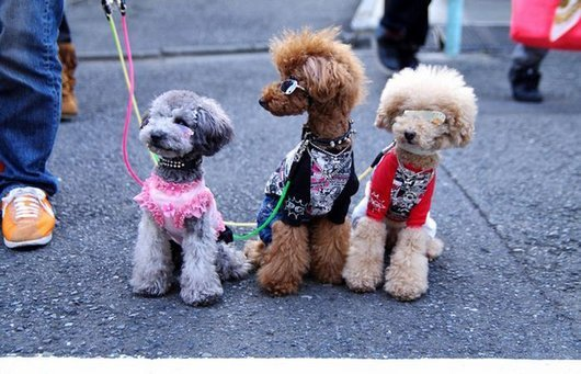 crazy-fashion-of-dogs-in-japan24