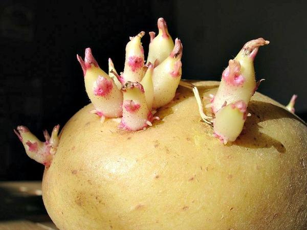 Potato_sprouts_CC
