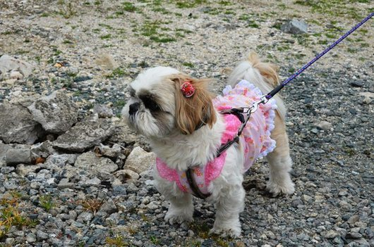 crazy-fashion-of-dogs-in-japan15
