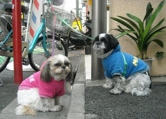 crazy-fashion-of-dogs-in-japan11