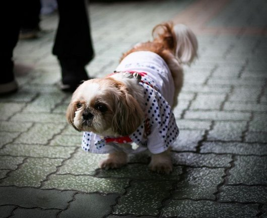 crazy-fashion-of-dogs-in-japan22