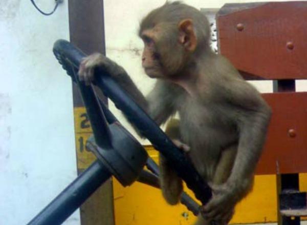 drive_monkey_drive1_1450846826