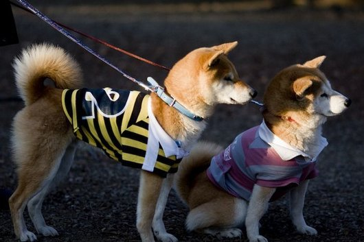 crazy-fashion-of-dogs-in-japan23