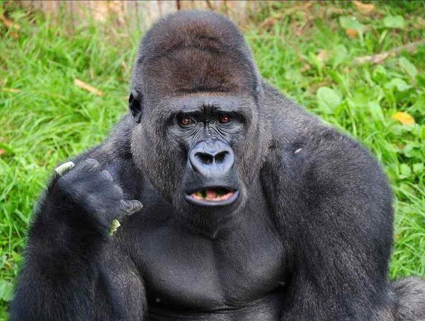 8RI9B5-gorilla-wont-stop-saying-goril-tPHi