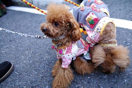 crazy-fashion-of-dogs-in-japan4